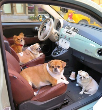four dogs in car