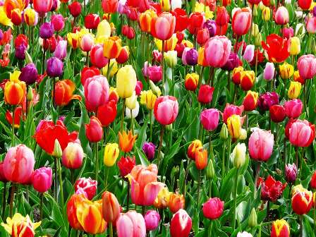 tulips bed colorful color 69776